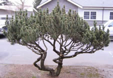 Ornamental Pruning